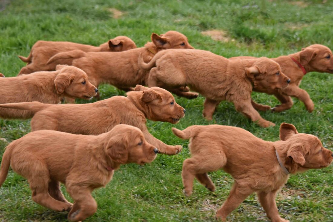 Windmill Farms Golden Retrievers - Home